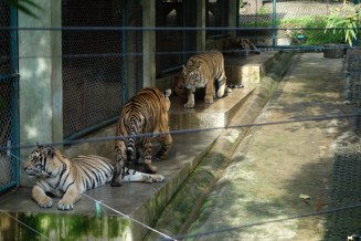 Tigers roaming in the cages
