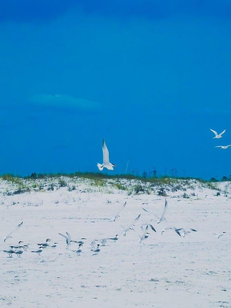 Shell Island bird life Panama City Beach Florida birds