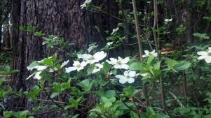 Dogwoods in Grove