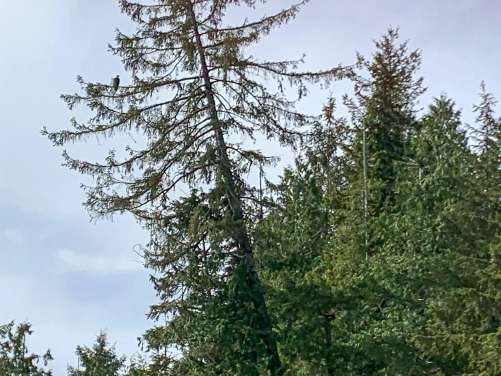 bald eagle in tree Ketchikan, Alaska
