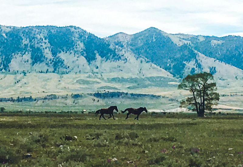 Wild horses in Wyoming running past mountains.