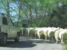 A remarkable meeting: a flock of sheep with their 'motorized' shepherd
