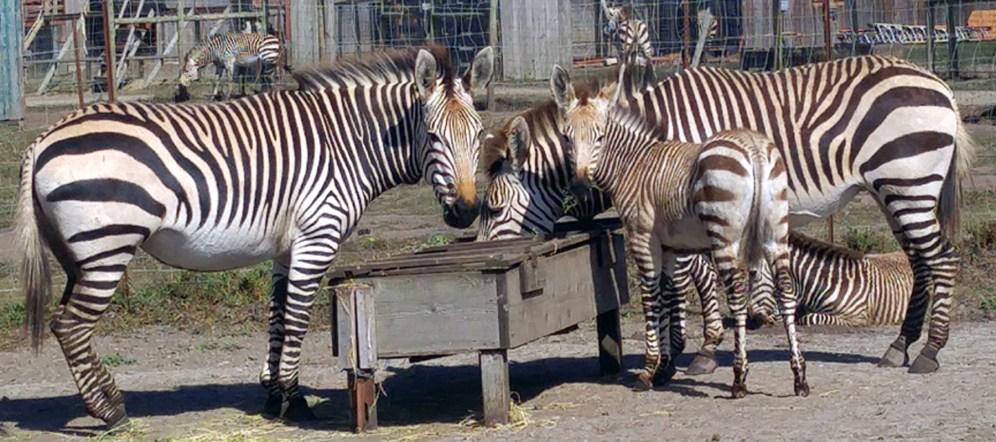zebras n babies-01 mg header