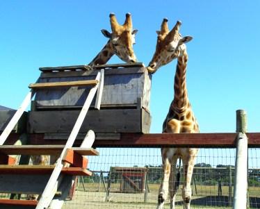 giraffe-01-med-by-scanlon