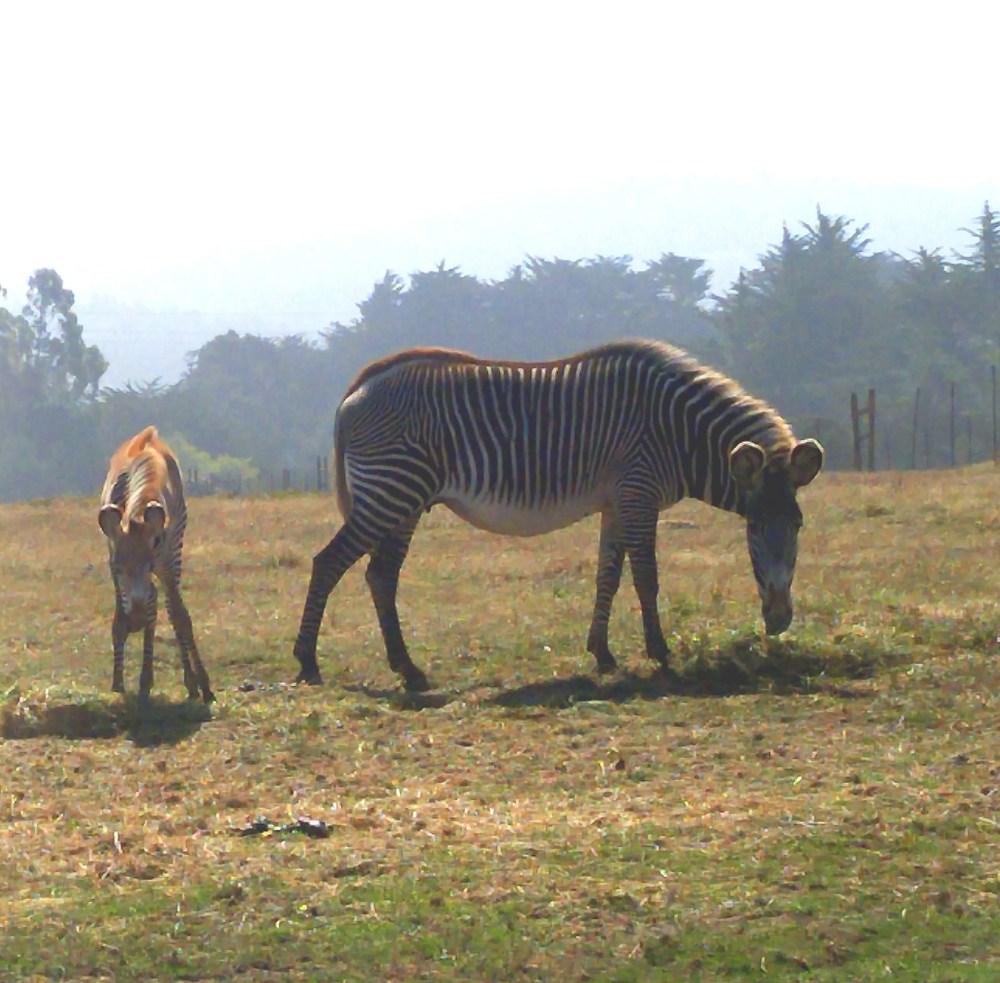 zebras-n-babies-02-med
