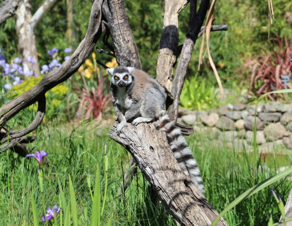 lemur-06 BY CHARLEBOIS