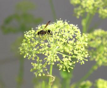 parsley n wasp-01 12x BY CHARLEBOIS
