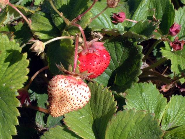 Strawberries Photographer: Mary Charlebois