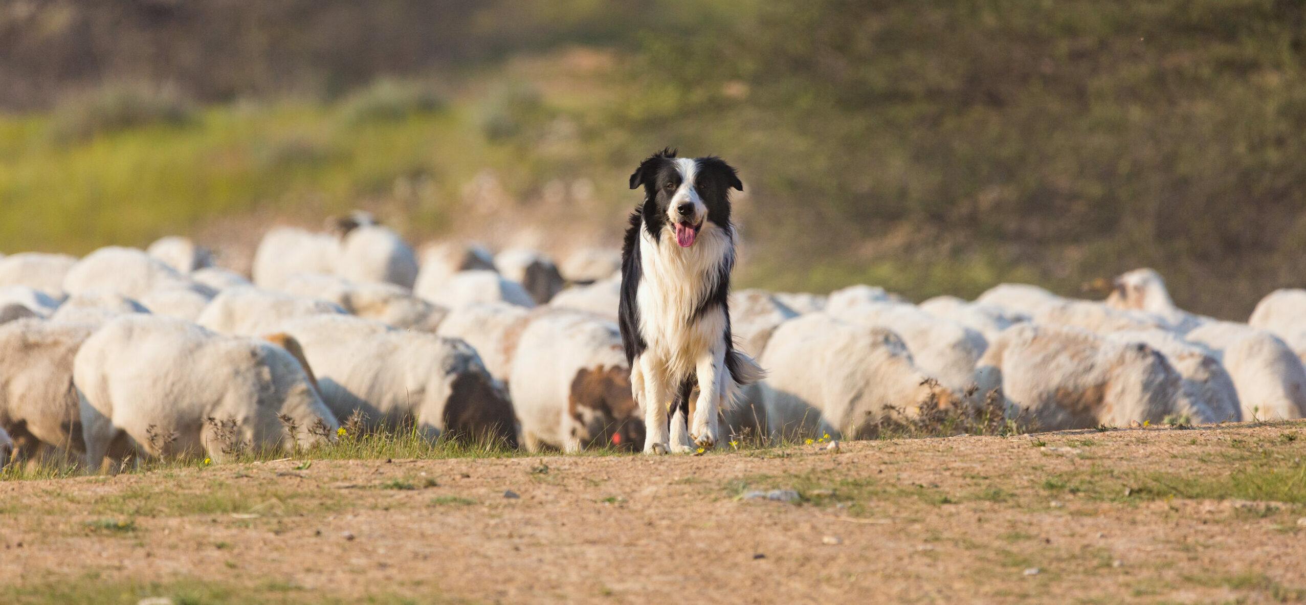 The Good Shepherd lays down his life