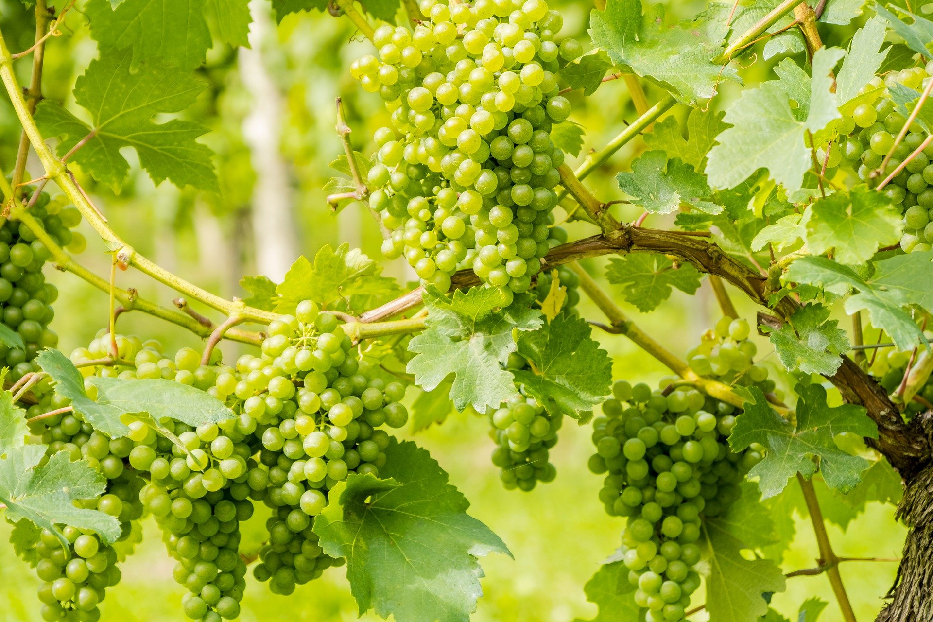 The image of the vine in the Old and New Testaments
