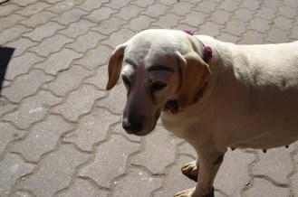 This dog was sitting outside a stall, and had eyebrows drawn on its face