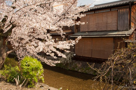 japan-cherry-blossoms-sakura-3200