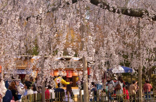 japan-cherry-blossoms-sakura-3484