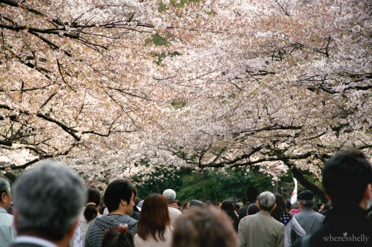 japan-cherry-blossoms-sakura-3514