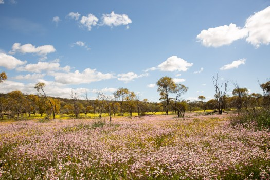 coalseam-conservation-park-wildflowers