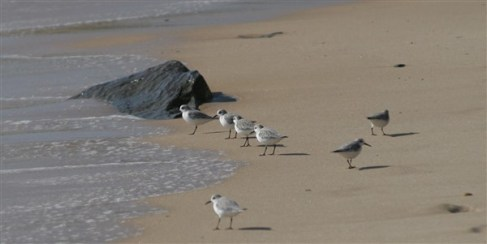 sandpipers2