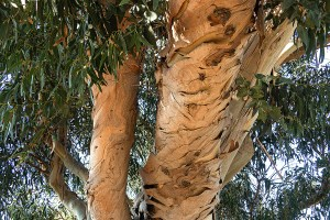 A Mummy Tree