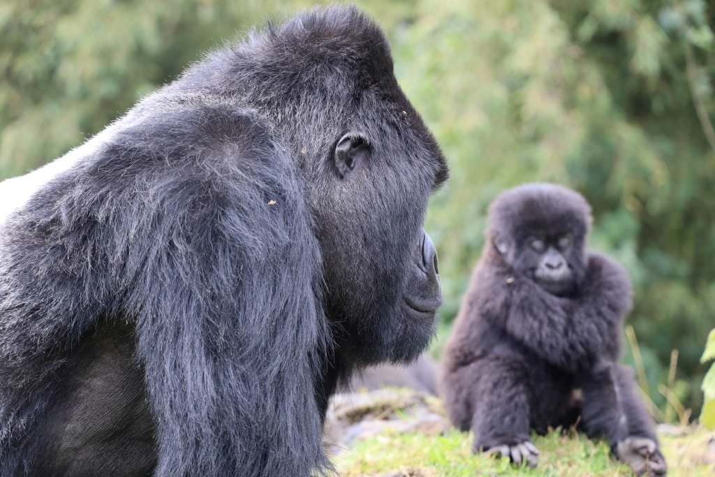 Mountain gorillas are increasing in numbers