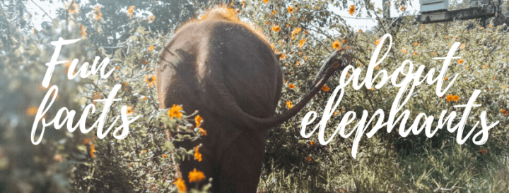 Fun Elephant facts I learned while visiting an Elephant sanctuary