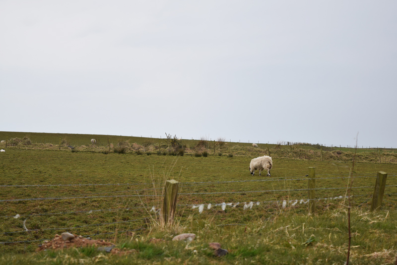 28-A-Paddock-Pasture-of-Sheep-in-Islay-Scotland