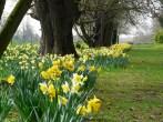 English daffodils
