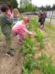 Snack garden sorrel harvesting_2078