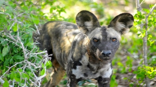 Wild dog at Selous National Reserve