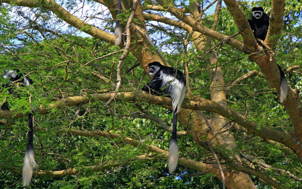 Black and white colobus monkeys at Kibale Forest National Park