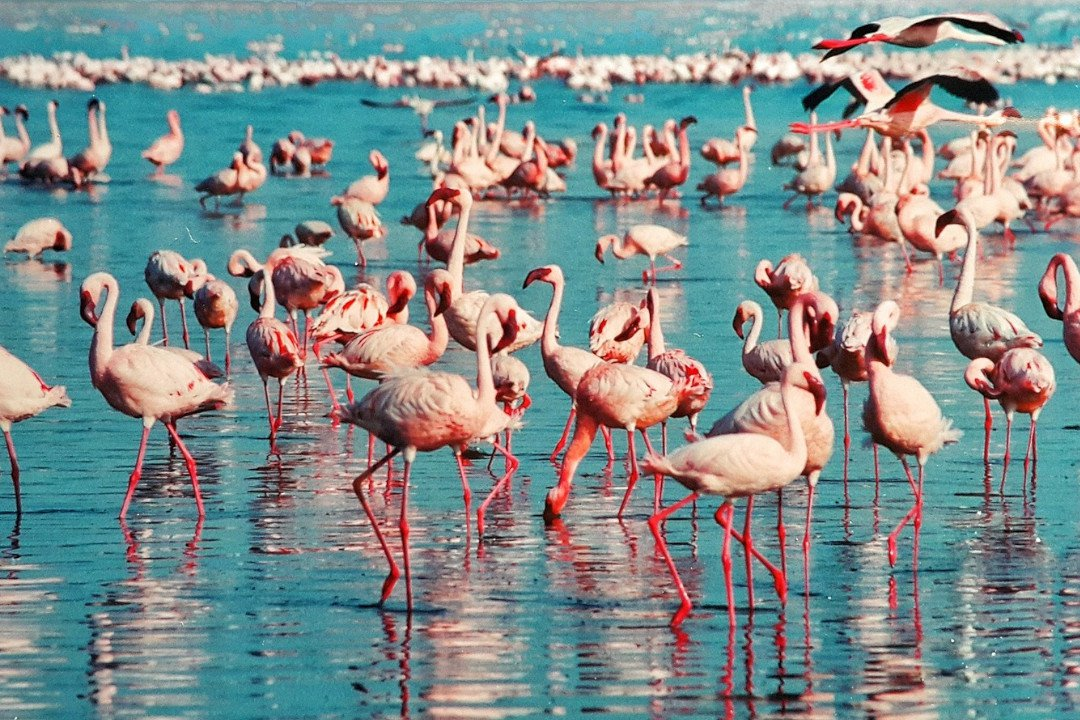 Flamingos in Lake Nakuru.whileinafrica
