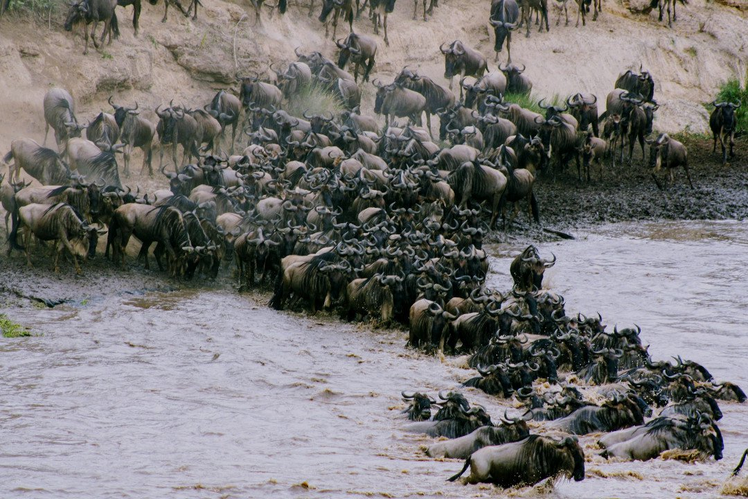 Wildebeests Crossing Mara River.whileinafrica
