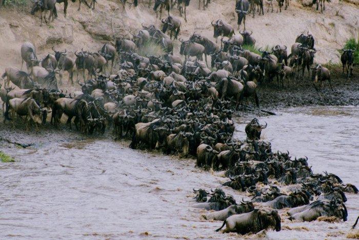Wildebeests Crossing Mara River.whileinafrica