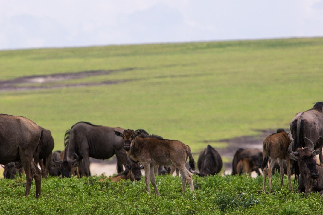 great migration in ngorongoro.whileinafrica
