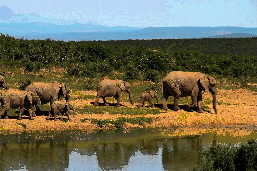 herd of elephants.whileinafrica