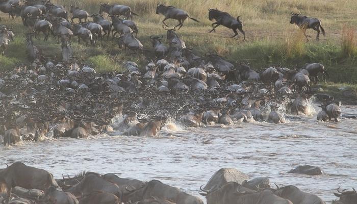 wildebeests during great migration in serengeti tanzania