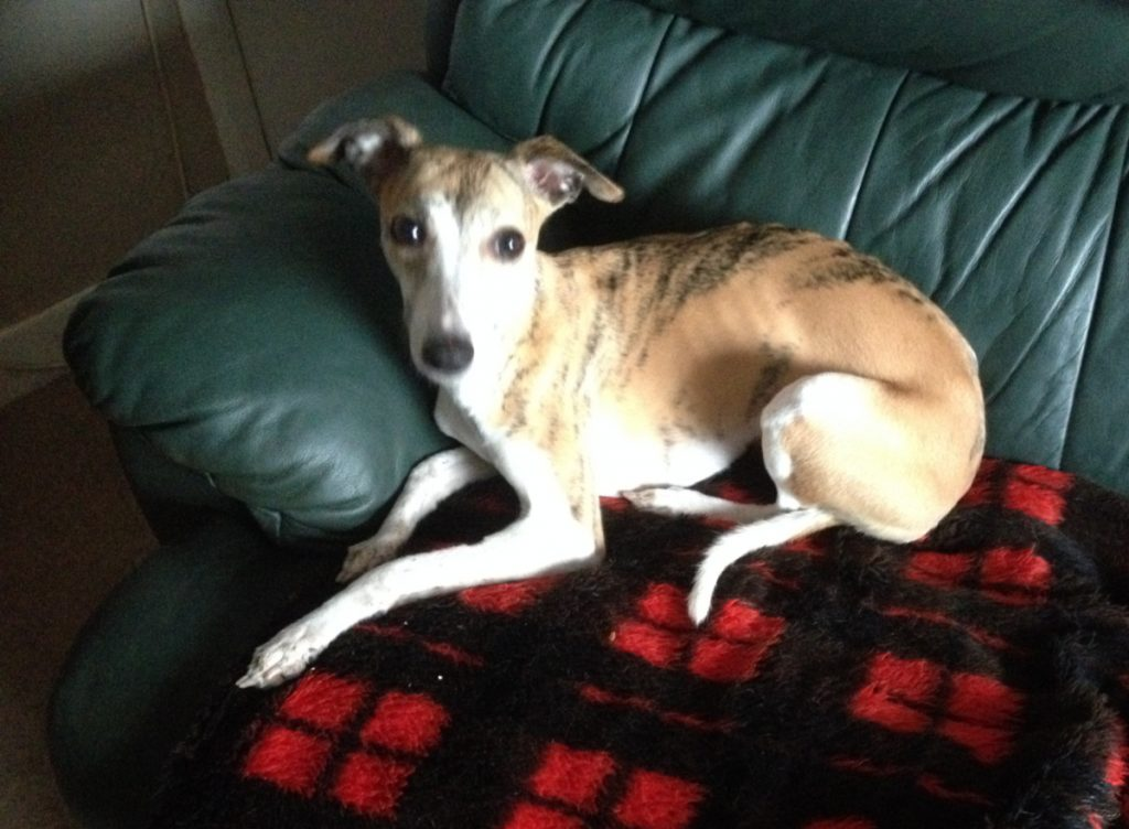 Dotty whippet looking for a forever home
