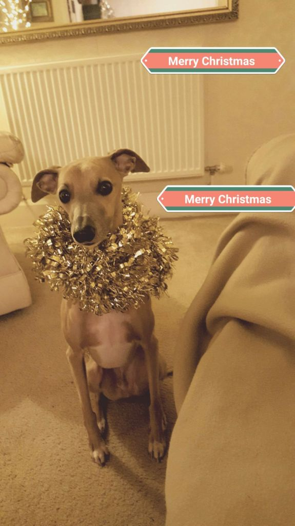 Merry Christmas from JR Whippet Rescue