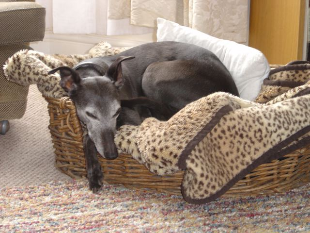 JR Whippet Rescue - Layla