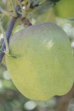 spitzenburg apple   whiskandmuddler.com