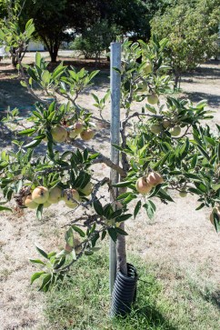antique braeburn apple tree | whiskandmuddler.com
