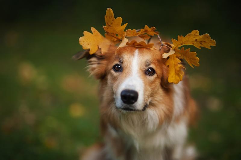 Canine size additive inheritance