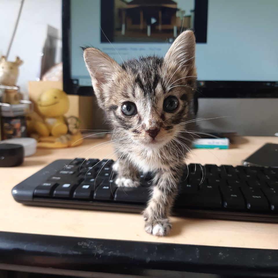 Tabby kitten on a keyboard