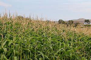 A corn field in eastern Wyoming. Photo ©2013 by Mark Gillespie.