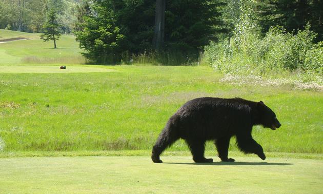 Whistler Golf Course Bear Photo by Dennis Begin