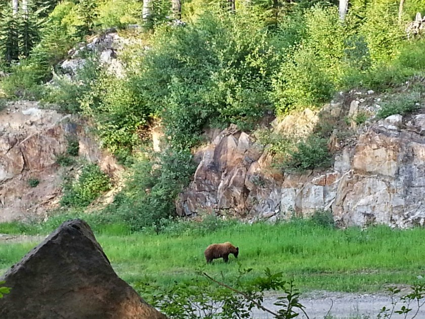 Cinnamon Bear in Whistler BC | How to stay Bear Aware in Whistler