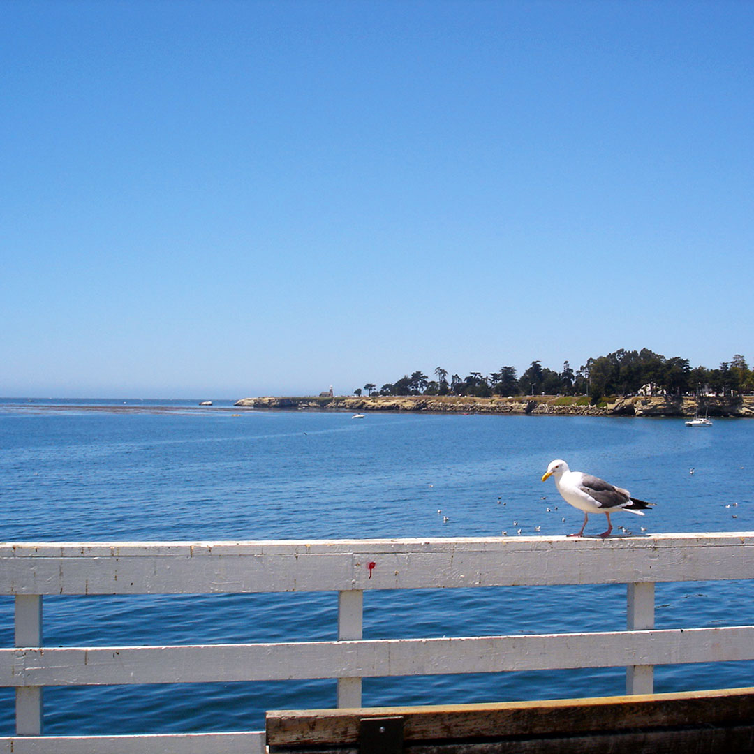 Seagull overlooking the sea in California