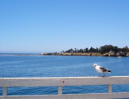 Seagull overlooking the sea in California