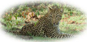 Beautiful Leopard Cat