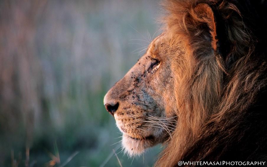 Lions White Masai