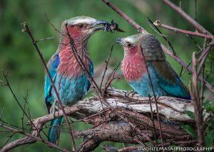 Feeding Birds White Masai