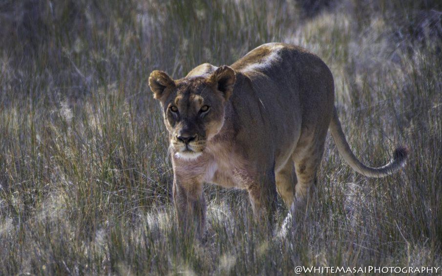 Lioness Namibia White Masai